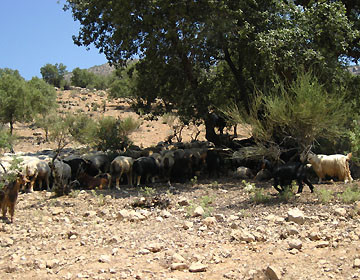 ギャッベ・羊の群れ